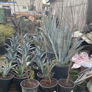 APRICOT FRUIT TREES 🌳/ ÁRBOLES DE CHABACANES 🌳 for Sale in Fresno, CA