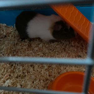 Guinea pig for Sale in Antioch, CA