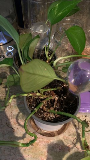 2 plants with water holders for Sale in San Diego, CA
