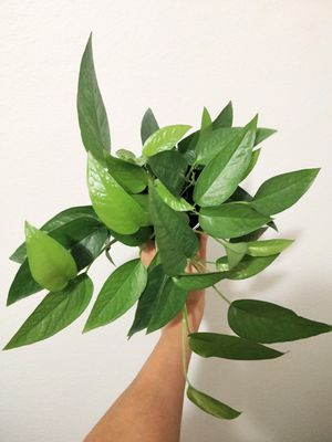 Cebu blue pothos rooted houseplant for Sale in Irvine, CA