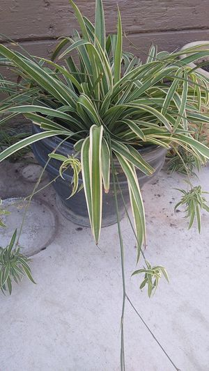 Spider plant for Sale in Manteca, CA