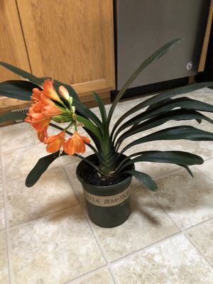 Hybrid orange Clivia plant for Sale in Tacoma, WA