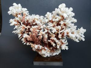 Beautiful Real Coral Display Piece for Sale in Irvine, CA