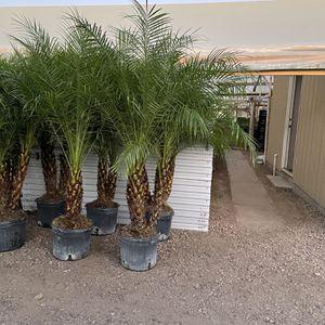 Pigmy Date Palm Tree 🌴 for Sale in Phoenix, AZ