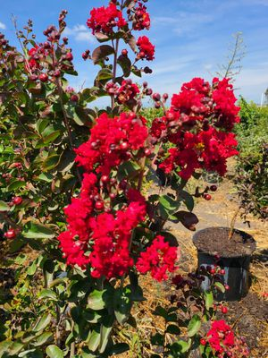 crepe myrtle dynamite for Sale in Ontario, CA