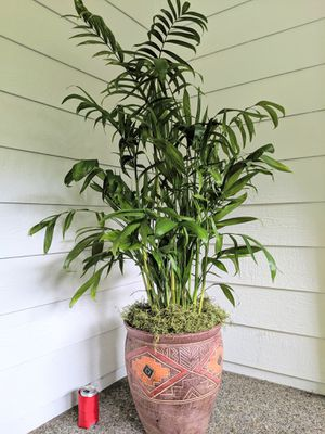 Bamboo Palm Plants in Ceramic Planter Pot- Real Indoor House Plant for Sale in Auburn, WA