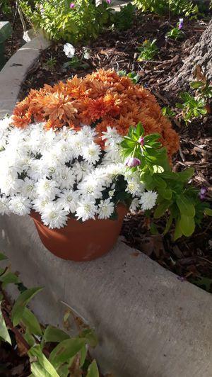 Crisantema for Sale in Dallas, TX