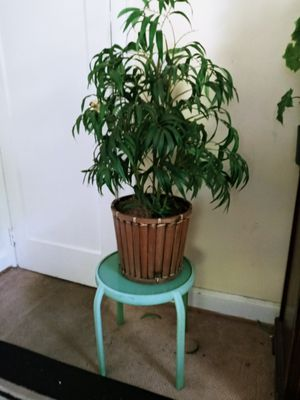 Silk plant 3 feet high..lime table is free for Sale in Hendersonville, TN