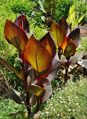 Red Canna Tropical plant/flower for Sale in Middletown, CT