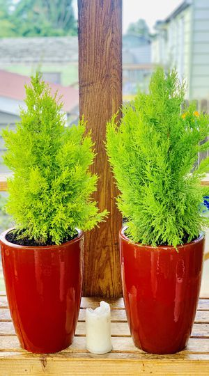Price is for pair—Live outdoor Lemon Cypress plant trees in a ceramic planter flower pot—firm price for Sale in Tukwila, WA