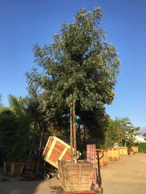 Raywood ash tree , shade tree for Sale in San Bernardino, CA