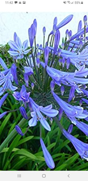 Blue Lily of the Nile Plant for Sale in Monrovia, CA