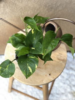 "4"" Golden Pothos Plant for Sale in Chula Vista, CA"