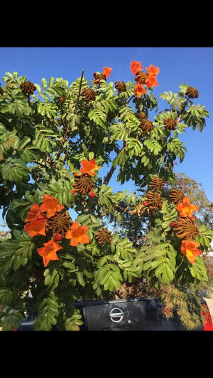 "Spathodea campanulata, the African tulip tree, 36"" box shade tree for Sale in Los Angeles, CA"