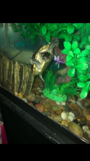 Turtles with tank filters and fish and food for Sale in Fall River, MA