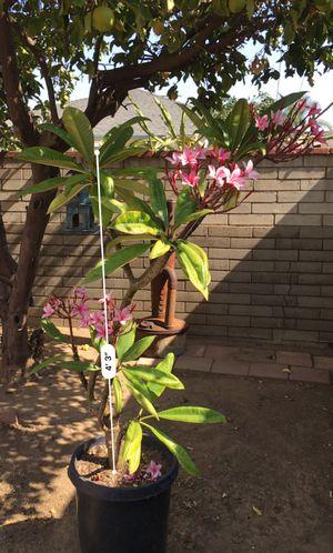 Plumeria (15 gallon pot) for Sale in Montebello, CA