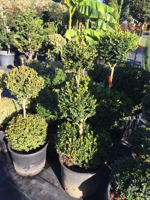 Topiary boxwoods for Sale in Hubbard, OR