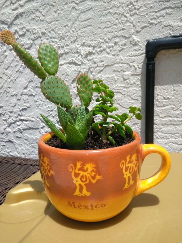 Succulent mug!! 3 plants