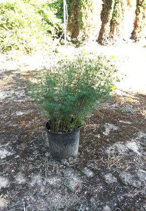 Coreopsis 2 gallon size for Sale in West Linn, OR