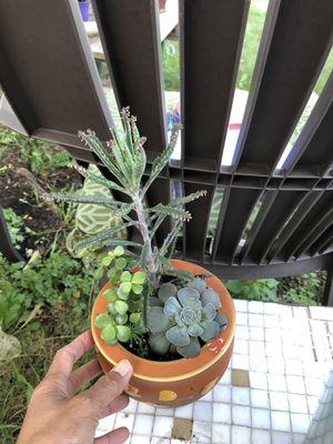 Succulent for Sale in Ypsilanti, MI