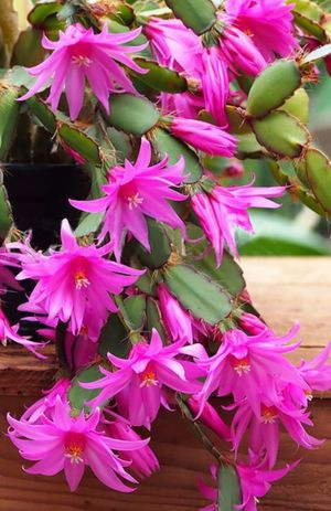 Christmas cactus each pot from$6-$15 for Sale in St. Louis, MO