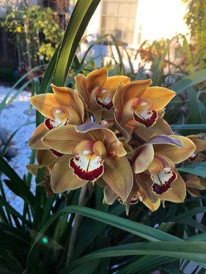 Large Cymbidium Orchid Plant for Sale in San Jose, CA