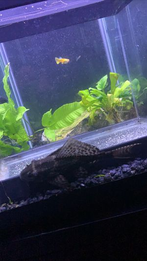 """Toy"" pleco fish for Sale in Fontana, CA"