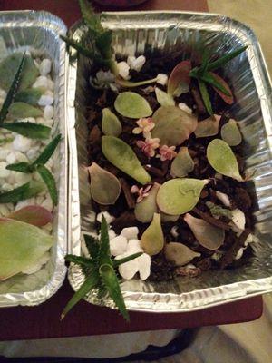 Succelents for Sale in Bradenton, FL
