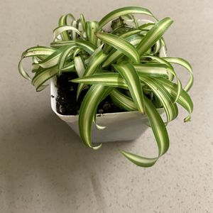 Curly Spider Plant - Baby Houseplant for Sale in Goleta, CA