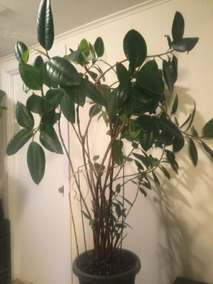 Rubber plant-ficus elastica for Sale in Watertown, MA
