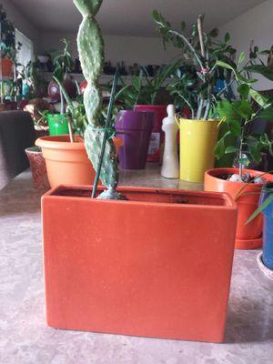 Cactus succulent plant for Sale in Aurora, CO