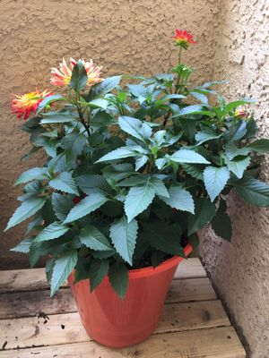 Real Plant Dahlia for Sale in Las Vegas, NV