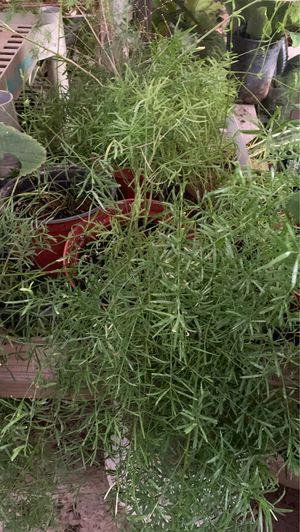 Fern plant for Sale in West Modesto, CA