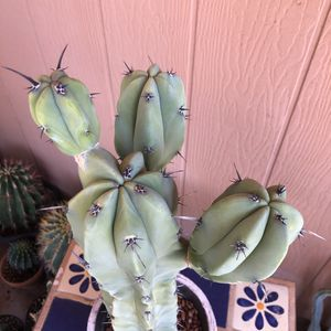 Cactus Plant Cutting Myrtillocactus Geometrizans for Sale in Chandler, AZ