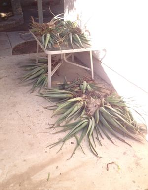 Aloe - uprooted yesterday - make me an offer for Sale in Tempe, AZ