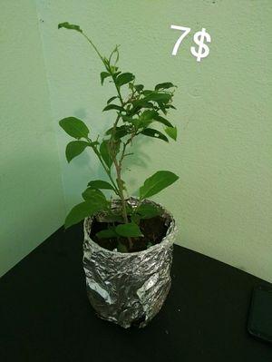 Planta huele de noche. Plant. for Sale in Los Angeles, CA
