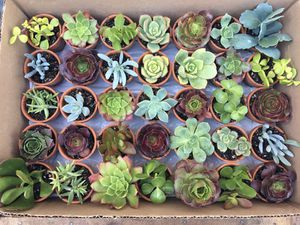 Succulent clippings $1 each for Sale in San Jose, CA