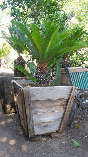 Sego palm In wood box for Sale in Fresno, CA