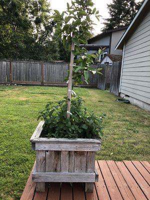 Lemon tree in 16 in w x 16 in l cedar plantar for Sale in Tacoma, WA