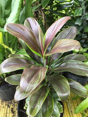 Beautiful plant for sale for Sale in Homestead, FL
