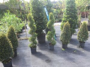 Topiaries spiral or cone for Sale in Davenport, FL