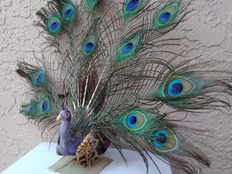 Peacock for Sale in Hollywood,  FL
