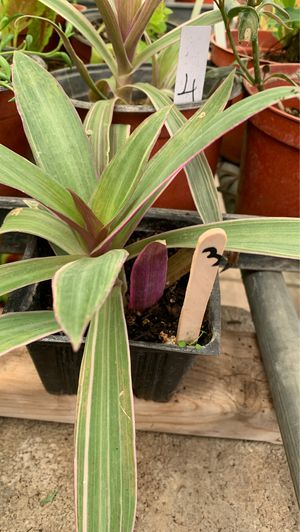Pink discolor plant for Sale in Modesto, CA