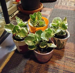 Peperomia plants$12-$13 each pot for Sale in St. Louis, MO