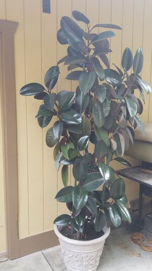 Beautiful 7 ft tall Plant for Sale in Pinole, CA