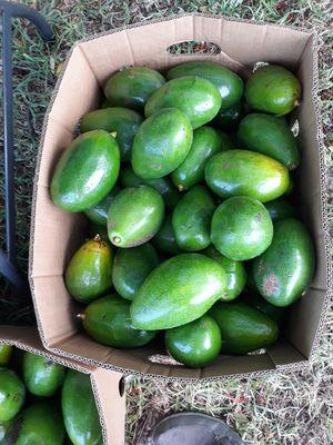 Aguacates recien cortados. Homestead for Sale in Homestead, FL