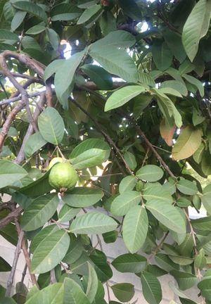 Organic Guavas! for Sale in Pomona, CA