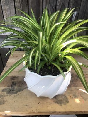 Beautiful Spider Plant with Ceramic Pot for Sale in Ventura, CA