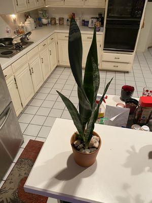 Sansaveria Black Coral in 4 in terra cotta pot for Sale in Arlington, TX