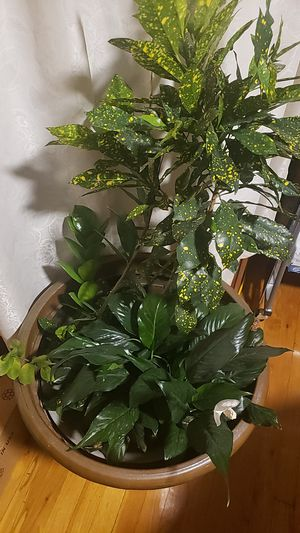 House plant for Sale in Elmhurst, IL